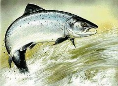 atlantique-salmon.jpg