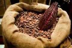 feves de cacao.jpg